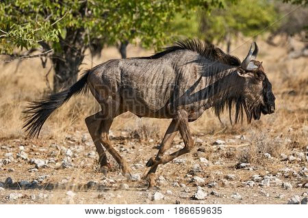 Wildebeests are big antelopes living in Africa scientific name Connochaetes