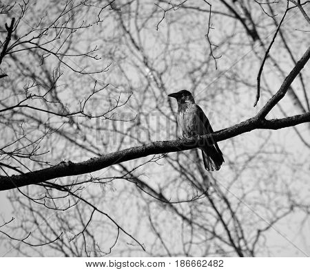 Black and white photo. Gray crow sits on a branch
