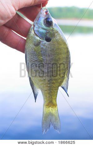 Sunfish, Aka, White Crappie