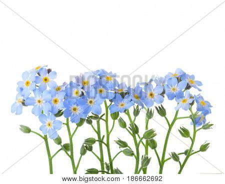 Forget-me-nots isolated on white background. Studio shot
