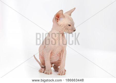 Funny Hairless Sphynx Kitten On White Background