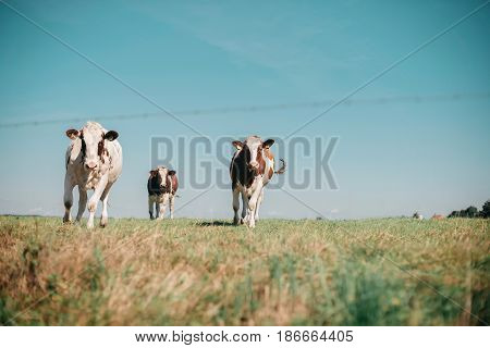 Three Curious Cows In Meadow Running Towards Camera.