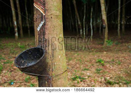 Para Rubber Tree.rubber Plantation.