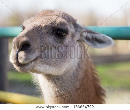 Portrait of a llama in a zoo .
