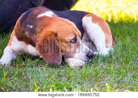 Dog of the Beagle breed lies on the green grass. Soft focus