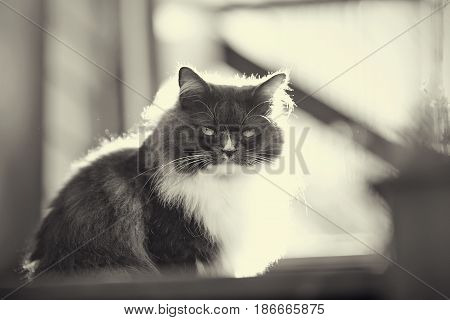 Not a color portrait of a fluffy cat of a smoky color with yellow eyes lit with the sun.