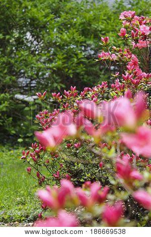 Pink Azaleas in the back yard of a suburban garden