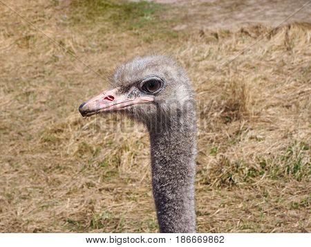 Ostrich Bird Head And Neck Portrait In The Wild