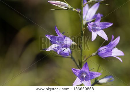 Flower of a wild rampion bellflower (Campanula rapunculus)