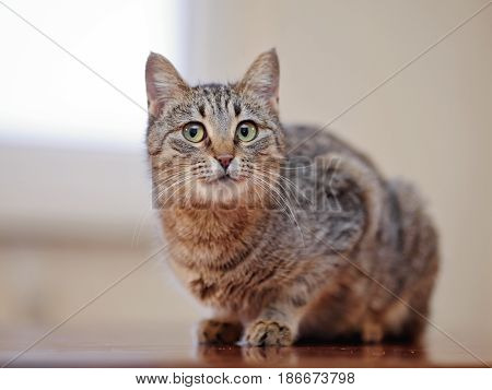 Gray striped cat with green eyes lies.