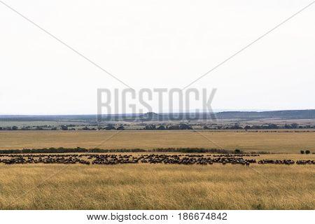 Great migration in the Serengeti. Kenya-Tanzanya, Africa