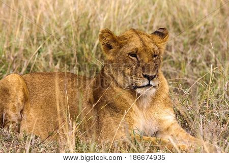 Lioness resting on the grass. Kenya, Africa