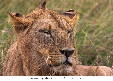 Head of a young lion. Kenya, Africa