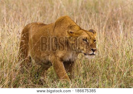 The lioness creeps up to the prey. Africa