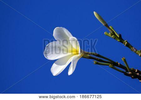 Image of tropical flowers frangipani (plumeria) on blue background.