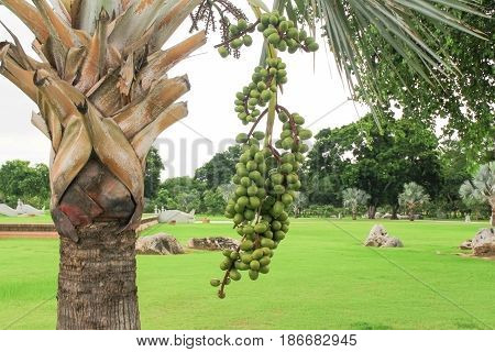 Palm fruit tree Raja Lipstick (Sealing wax Lipstick Raja Maharajah ) ornamental plant in garden on white background