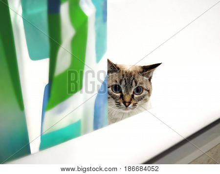 The white siamese cat in a bathtub
