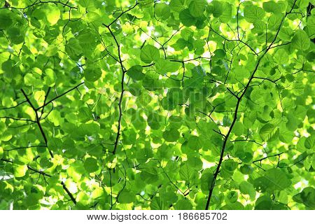 green leaf canopy a natural green background