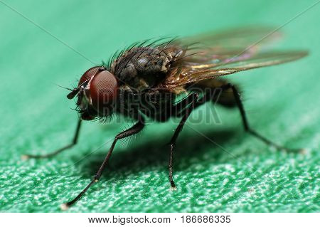 Macro of house flies or fly insect close up. Little fly on green table