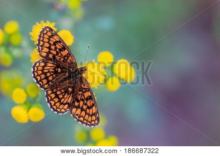 Heath Fritillary Butterfly On Yellow Flowers With Green And Purple Background