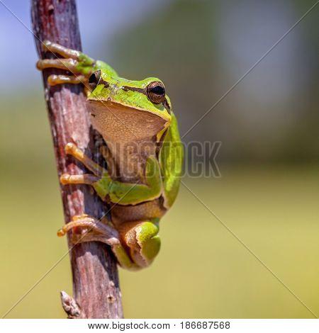 Looking European Tree Frog