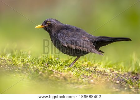 Male Blackbird Foraging In Backyard