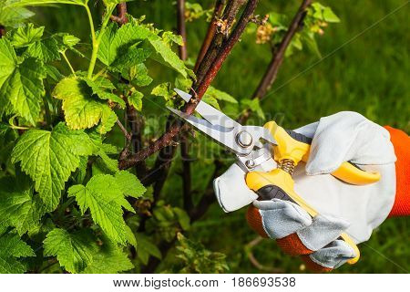 gardener's hand in protective glove cuts branch from of currant with  pruning scissors