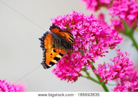 Aglais urticae, Small Tortoiseshell butterfly on pink flowers, love background. Butterfly in nature on wild flowers