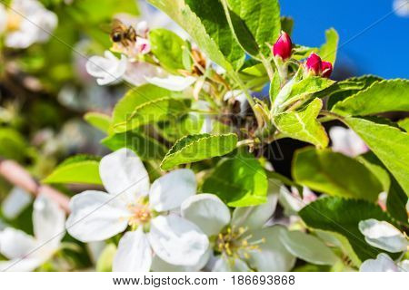 the bluming apple tree on sky background