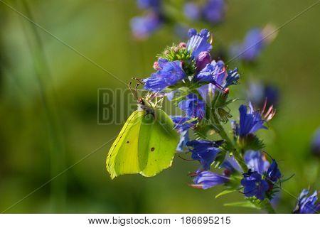Brimstone, Gonepteryx rhamni, lemon yellow butterfly in wild. Butterfly in nature