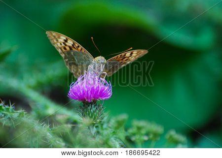 Argynnis pandora - Cardinal cloak butterfly on a flower in meadow. Butterfly in natural habitat