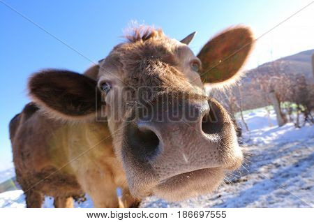 Cow portrait. Cow lying on mountain grass