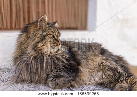 selective focus of domestic adorable black grey Maine Coon kitten young cat in sunshine day.