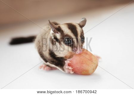 Cute sugar glider eating grape on light background, closeup
