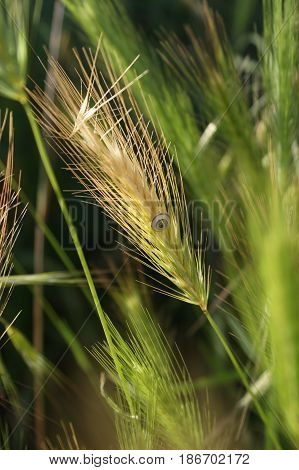 Wheat spike with a snail and a green environment.