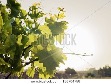 Young leaves of grapes on the sky and sunrays background backlight