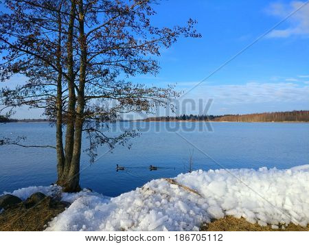 Two birds swimming in open water after ice has broken into pieces in Finland.
