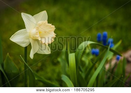Large Image of White Narcissus and small blue blued flowers