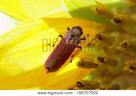 Close up macro of bug on sunflower
