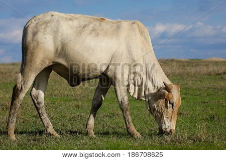A boran cow grazes on green grass. Ol Pejeta Conservancy Kenya.