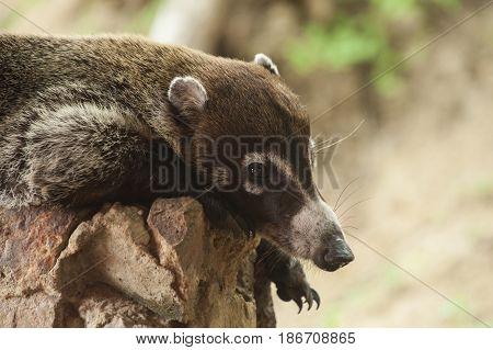 Male white nosed coatimundi resting on a rock wall