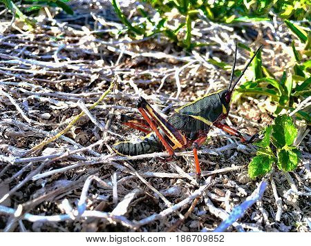 Grasshoppers In Florida With Red And Black Exoskeleton