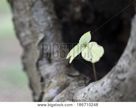 Small sprouting plant with leaves in the embrace of tree. Little green spruce tree is protected by large tree trunk. Flower in cave. Symbolism of origin and extinction. Saplings of deciduous oak.