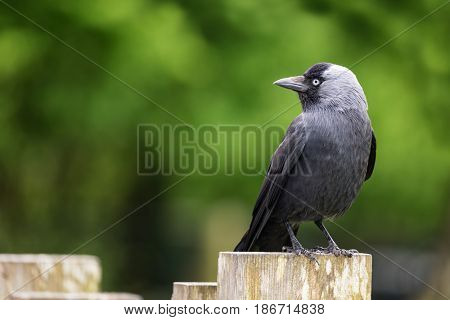 Side view of an adult jackdaw perched on a fence post. Space for your text.