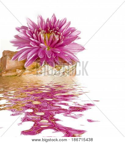 Pink chrysanthemum flower is on the jasper stone isolated on white background reflected in the water surface with small waves