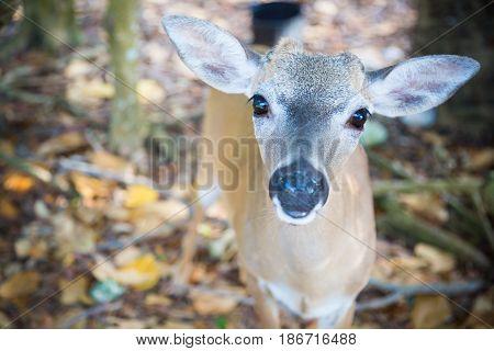 National Key Deer Refuge Key Deer, Big Pine Key, Florida Keys,