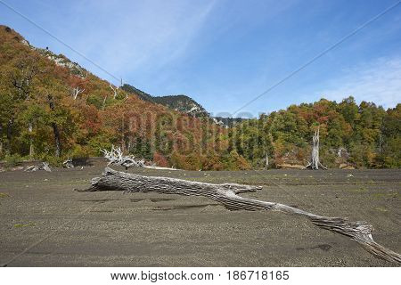 Trees covered in colourful autumn foliage rising out of the lava fields in Conguillio National Park in the Araucania region of Chile.