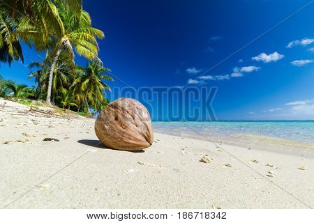coconut on white sand beach with palm trees behind