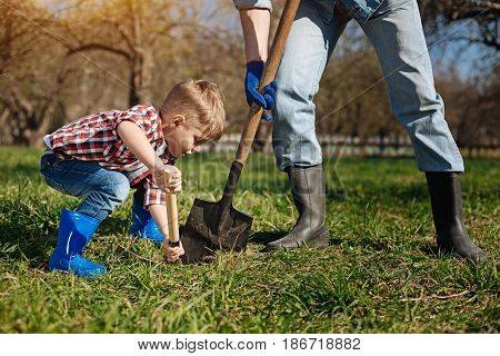 Taking care of environment. Boy wearing bright blue wellies helping his granddad by scooping the ground for a new fruit tree sapling