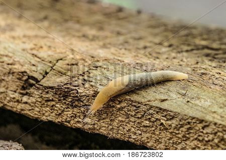 Garden slug crawling on the edge of a wooden beam. Slimy garden pest.